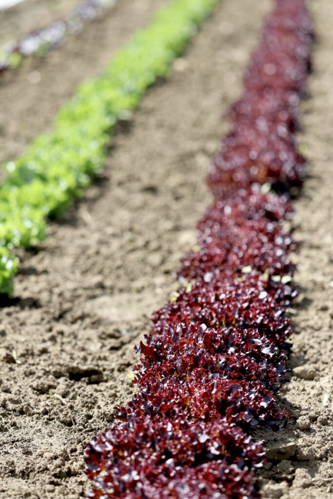 Lettuces at the Crows Farm in the Skagit Valley, Washington
